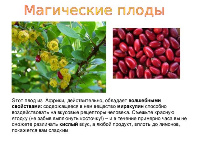 Этот плод из Африки, действительно, обладает волшебными свойствами : содержащееся в нем вещество миракулин способно воздействовать на вкусовые рецепторы человека. Съешьте красную ягодку (не забыв выплюнуть косточку!) – и в течение примерно часа вы не сможете различать кислый вкус, а любой продукт, вплоть до лимонов, покажется вам сладким