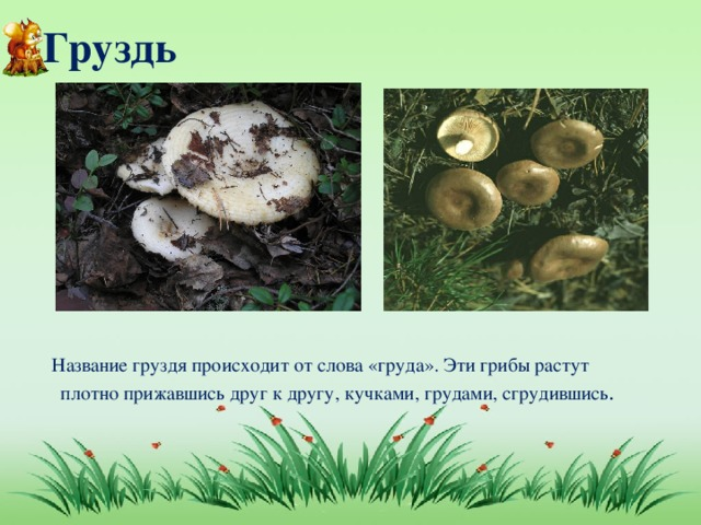 Груздь  Название груздя происходит от слова «груда». Эти грибы растут плотно прижавшись друг к другу, кучками, грудами, сгрудившись .