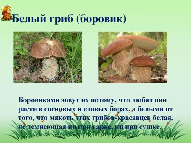 Белый гриб (боровик)  Боровиками зовут их потому, что любят они расти в сосновых и еловых борах, а белыми от того, что мякоть этих грибов-красавцев белая, не темнеющая ни при варке, ни при сушке.