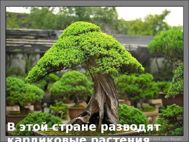В этой стране разводят карликовые растения