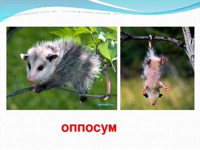 оппосум