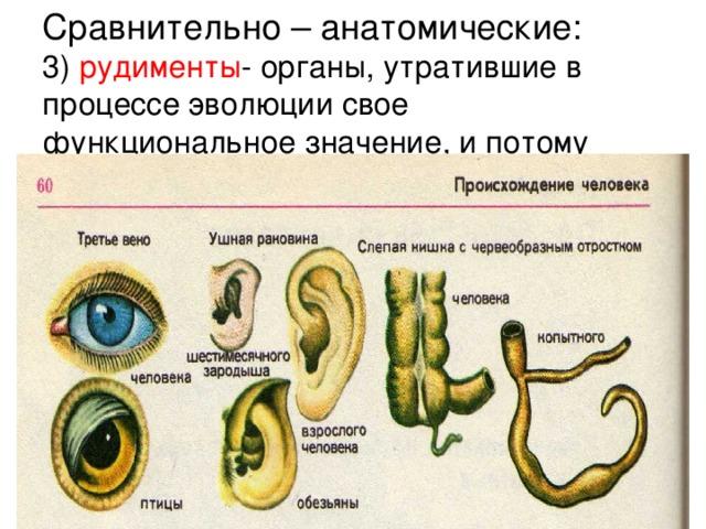Сравнительно – анатомические:  3) рудименты - органы, утратившие в процессе эволюции свое функциональное значение, и потому недоразвитые.